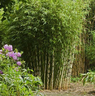 davis bamboo species list. Black Bedroom Furniture Sets. Home Design Ideas