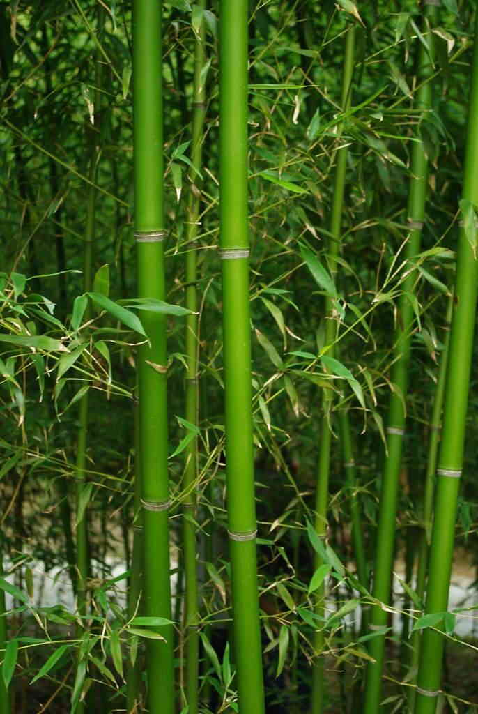 Davis Bamboo Species List